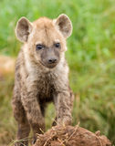 Hyena cub in Masai Mara. Cute young hyena cub looking directly into the camera Royalty Free Stock Image
