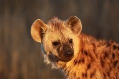 Hyena cub portrait Stock Image