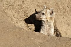 Hyena Cub sitting in a hole. In the sand looking out Royalty Free Stock Photography