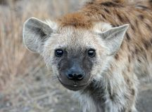 Hyena Cub smiling Royalty Free Stock Images