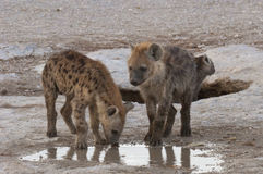 Hyena cubs Stock Photography