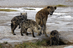 Hyena and cubs. Spotted hyena (crocuta crocuta) and her puppies on the plains of Amboseli National reserve, Kenya, East Africa Stock Photo