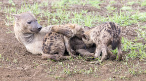 Hyena cubs feeding on their mother as part of a family Stock Photography
