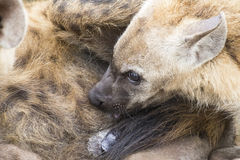 Hyena cubs feeding on their mother as part of a family Stock Photo