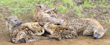 Hyena cubs feeding on their mother as part of a family Royalty Free Stock Photography
