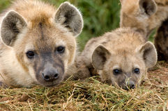 Hyena cubs in Masai Mara Stock Images