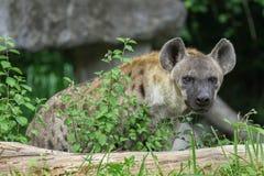 Hyena curioso fotografía de archivo