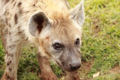 Hyena Royalty Free Stock Images