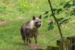 Hyena is a dangerous, cautious, predatory beast stock photography