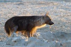 Hyena de Brown imagen de archivo libre de regalías