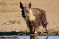 Hyena de Brown, Kalahari, África do Sul fotos de stock