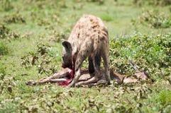 Hyena de jacht, het nationale park van Serengeti, Tanzania, Afrika Royalty-vrije Stock Fotografie