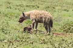 Hyena de jacht, het nationale park van Serengeti, Tanzania, Afrika Stock Foto