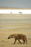 Hyena de riso no Ngorongoro Imagens de Stock Royalty Free