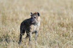 Hyena in de savanne van Afrika royalty-vrije stock afbeelding