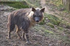 Hyena di Brown sulla collina Fotografie Stock Libere da Diritti