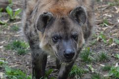 Hyena di Upclose Immagine Stock