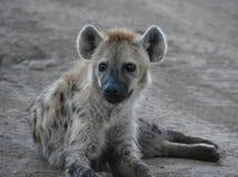 Hyena dichte omhooggaand in een spelreserve stock afbeeldingen