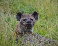 Hyena dichte omhooggaand in een spelreserve Royalty-vrije Stock Foto