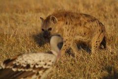 Hyena die gier onder ogen ziet Royalty-vrije Stock Fotografie