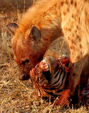Hyena die zebra eten Royalty-vrije Stock Afbeelding
