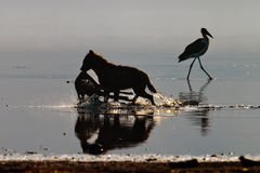 Hyena dragging an antelope on the water Royalty Free Stock Photography