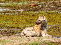 Hyena drinking Royalty Free Stock Images