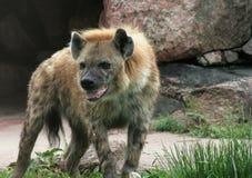 Hyena Drooling Fotografia Stock Libera da Diritti