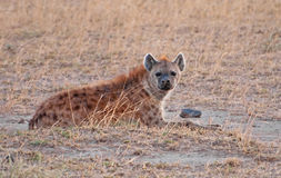 Hyena at Dusk. A hyena keeping a close eye on its territory in the early evening at Amboseli National Park in Kenya stock images