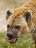 Hyena Eating. Profile of Hyena licking while eating prey stock photos