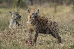 Hyena South Africa royalty free stock image