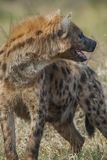 Hyena South Africa royalty free stock photos