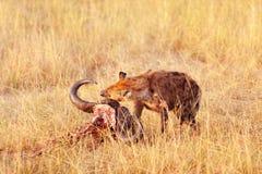 Hyena eating a pray Stock Photos