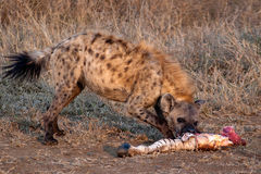 Hyena eating zebra leg Royalty Free Stock Photo