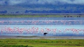 Hyena en Flamingo's Stock Foto's