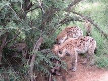 Hyena exploring Royalty Free Stock Image