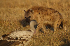 Hyena facing vulture Royalty Free Stock Photography