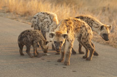 Hyena Family Stock Photo