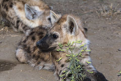 Hyena family in the morning at Kruger Park Stock Photos
