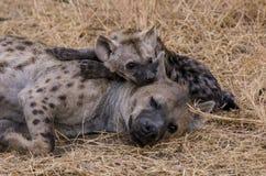 Hyena family Stock Image