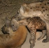 Hyena family. The family with a young pup was lying near the den. They were in a reserve near the Kruger Park Stock Images