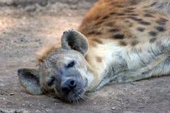Hyena faticoso Immagine Stock