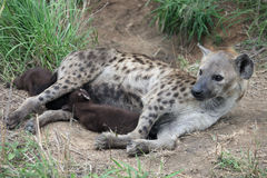 Hyena feeding puppies. African spotted hyena and two cubs. Royalty Free Stock Photos