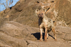 Hyena female Royalty Free Stock Photos