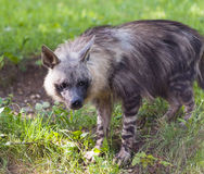 Hyena. A hyena in the grass (brown hyena stock photos
