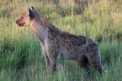 Hyena in grass Royalty Free Stock Image