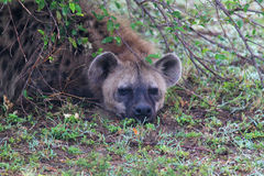 Hyena Head - Safari Kenya. The amazing picture  of a hyena hidden under a bush, in Kenya Royalty Free Stock Photos