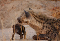 Hyena heaven. Hyena mum & pup at their den in Kwai, Botswana royalty free stock photo