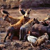 Hyena. Herd group predator volture griffin hippo savannah africa tanzania Royalty Free Stock Image