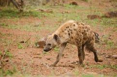 Hyena het lopen Stock Foto